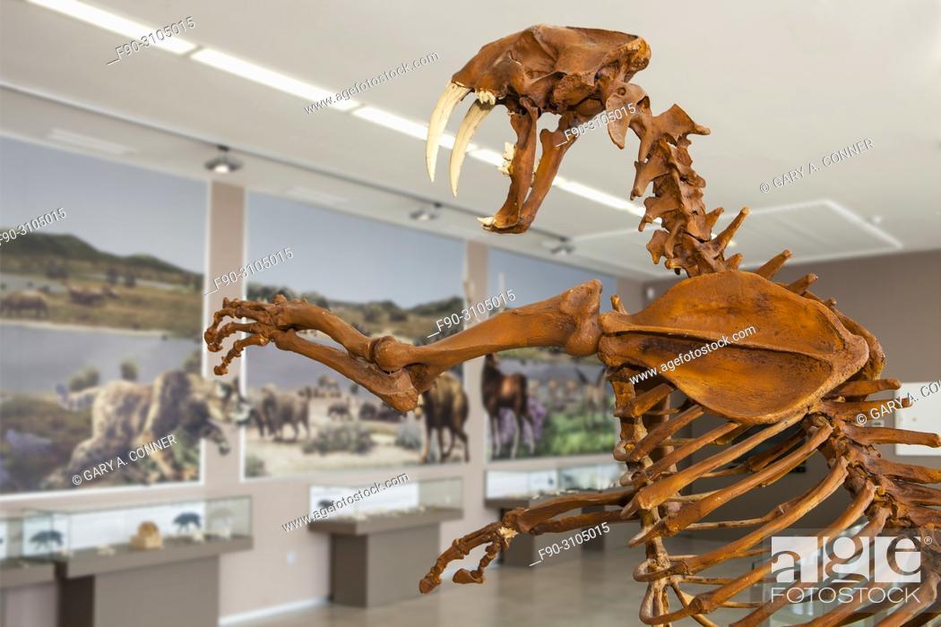 Imagen: Skeleton of saber toothed tiger, Centro de Interpretación Primeros Pobladores de Europa.