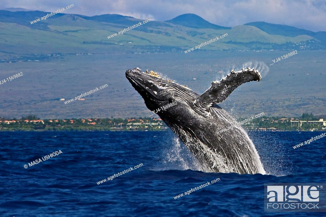 Stock Photo: humpback whale, Megaptera novaeangliae, breaching, Kohala Mountain in background, note rare gray body coloration for adult whale, Hawaii, USA, Pacific Ocean.
