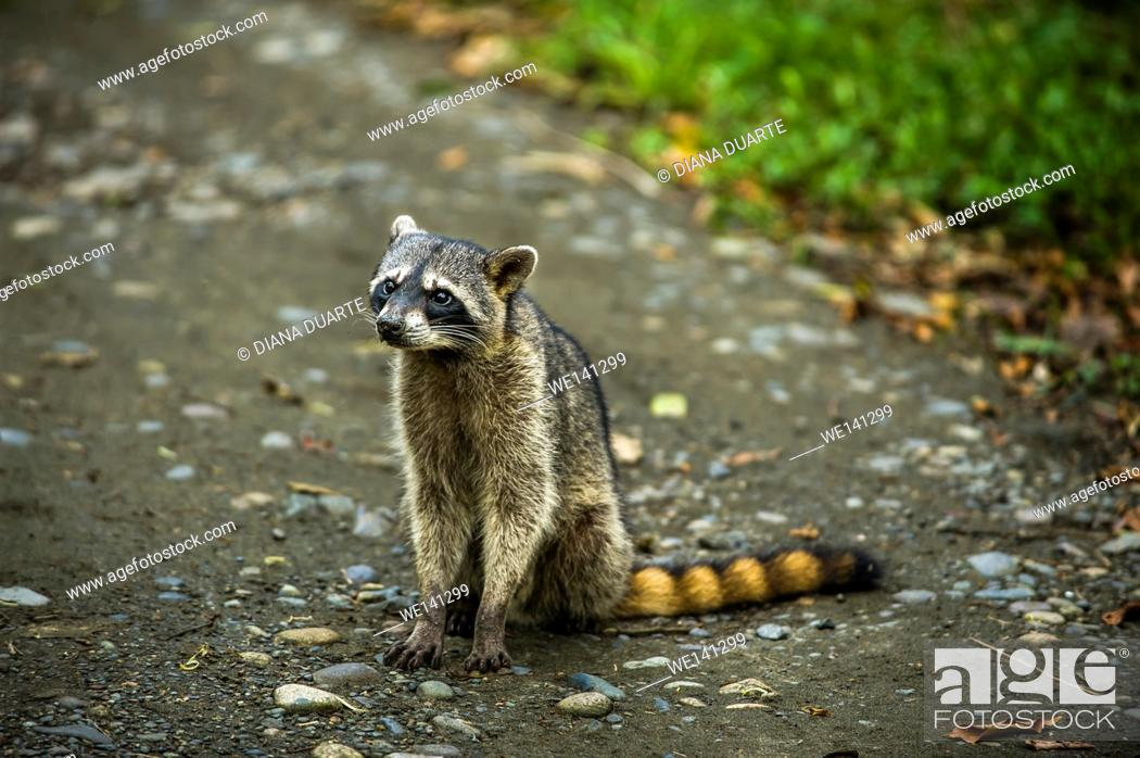 "Stock Photo: """"""""""Raccoon"""" (Procyon lotor), The most distinctive feature of the raccoon is the black mask found around the eyes of the raccoon."