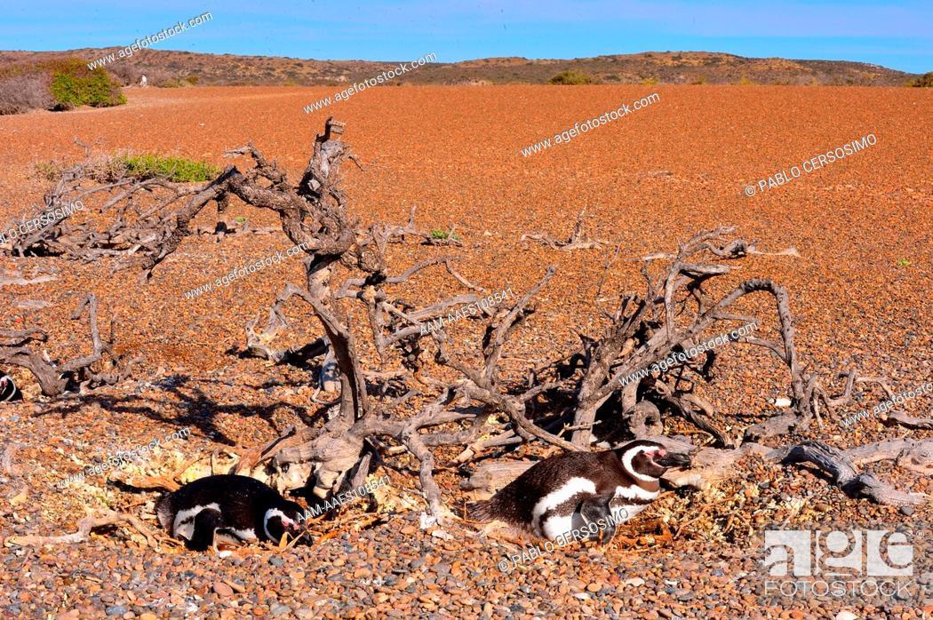 Stock Photo: Bird, Magellanic Penguin, Sphenicus Magallanicus, incubating their eggs with desert bhind, Peninsula Valdes, Patagonia, Argentina, South Atlantic.