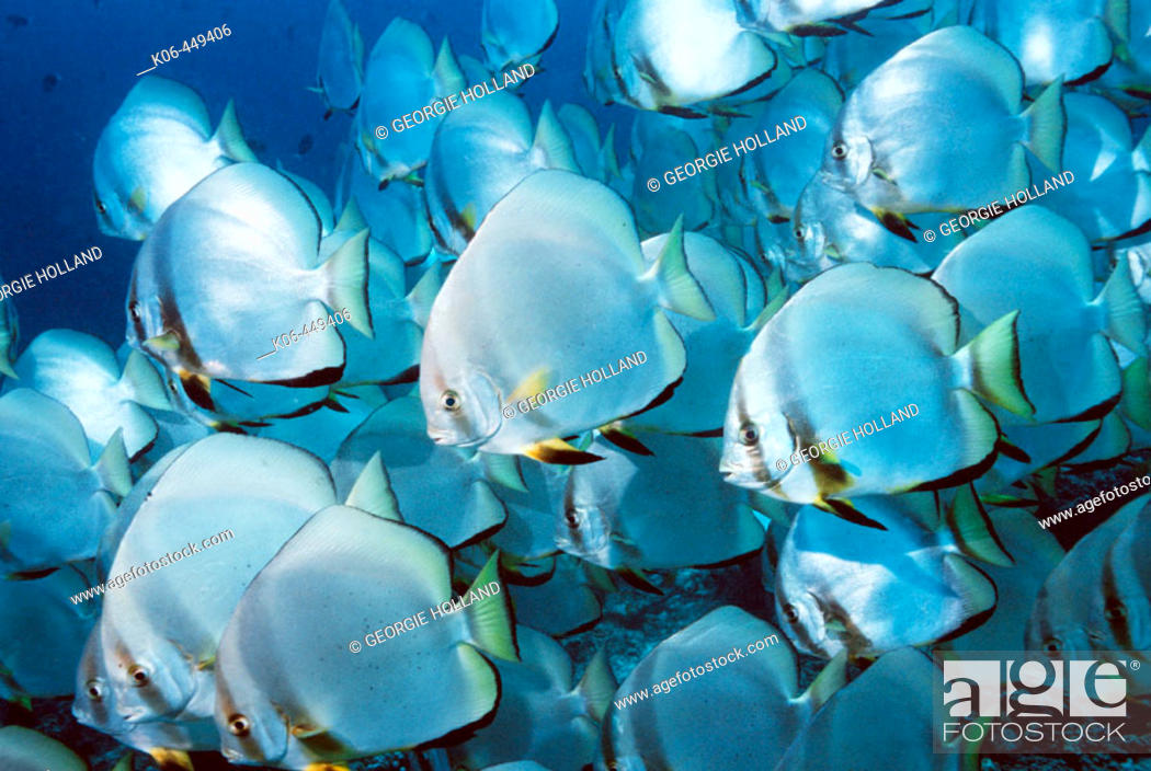 Stock Photo: Circular spadefish or Batfish (Platax orbicularis), school. Malaysia.