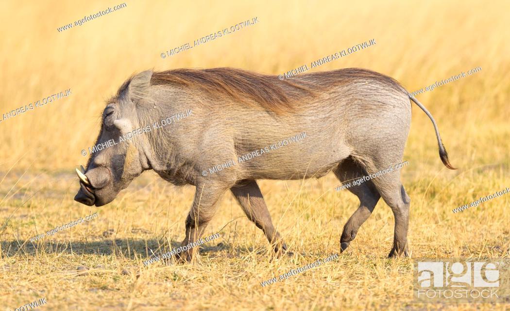 Stock Photo: Warthog (Phacochoerus africanus) walking in the evening sun. Namibia.