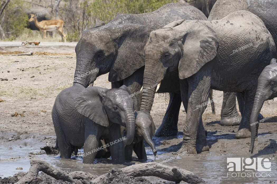 Stock Photo: African bush elephants (Loxodonta africana), herd with calves and baby at a muddy waterhole, Kruger National Park, South Africa, Africa.
