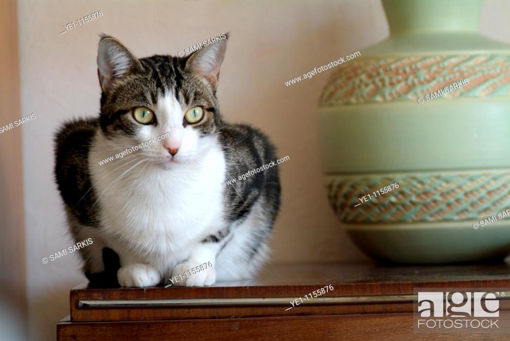 Stock Photo: Portrait of a tabby cat sitting on a sideboard in a Sphinx-like pose.