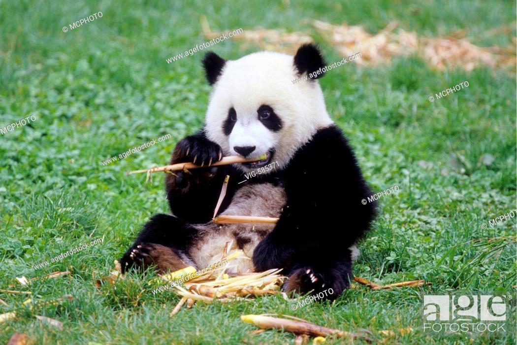 Stock Photo: Acht Monate junger Grosser Panda beim Fressen von Bambus in der Forschungsstation Wolong/China - Wolong, Sichuan, China, 04/08/2006.