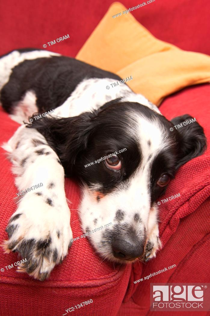 Stock Photo: An English Springer Spaniel on the sofa indoors.