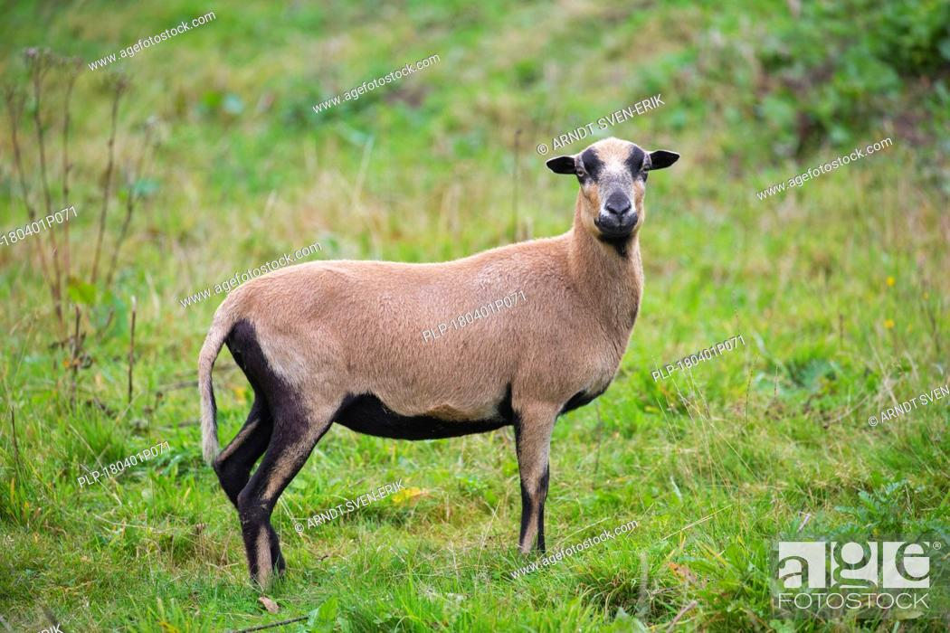 Stock Photo: Cameroon sheep ewe, domesticated breed of sheep from West Africa in meadow.