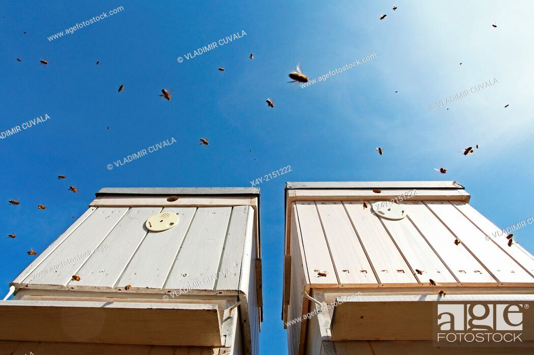 Stock Photo: Flying Western honey bees (Apis mellifera) approaching the entrance of beehives. Location: Male Karpaty, Slovakia.