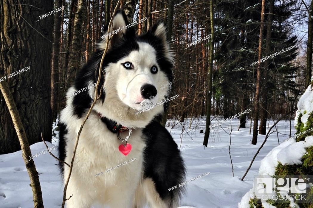 The Siberian Husky Is A Medium Size Dense Coat Working Dog Breed