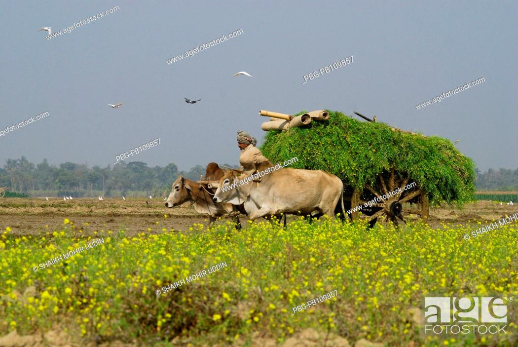 Stock Photo: Bullock cart is used to carry crops and hay from the field at Court Chandpur Jhenaidah, Bangladesh January 2011.