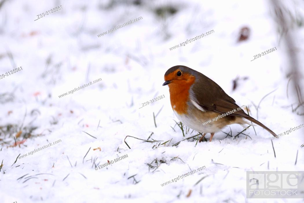 Stock Photo: A Robin (Erithacus rubecula) feeds on a snow covered lawn, East Sussex, UK.