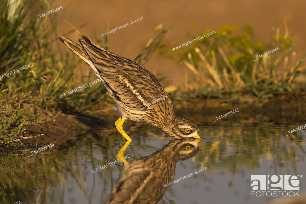 Stock Photo: Common Rosewood (Burhinus oedicnemus). Drinking in a pond at dawn photographed in Villacañas Castilla la Mancha Spain.