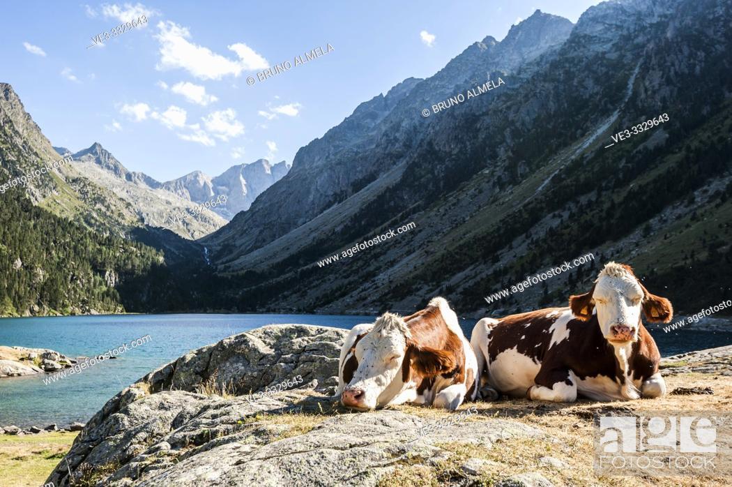 Stock Photo: Cows resting in Gaube Lake, Pyrenees national Park (Hautes-Pyrénées Department, Nouvelle-Aquitaine Region, France).