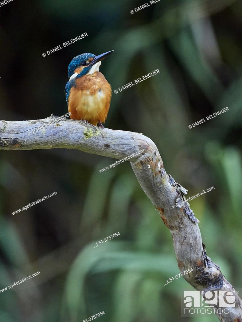 Stock Photo: Kingfisher (Alcedo Atthis) perching on a pond, Villahermosa river, Ludiente, Castellón, Spain.