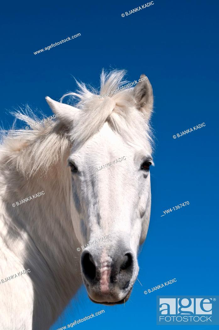 Stock Photo: White horse, The Cevennes, France.