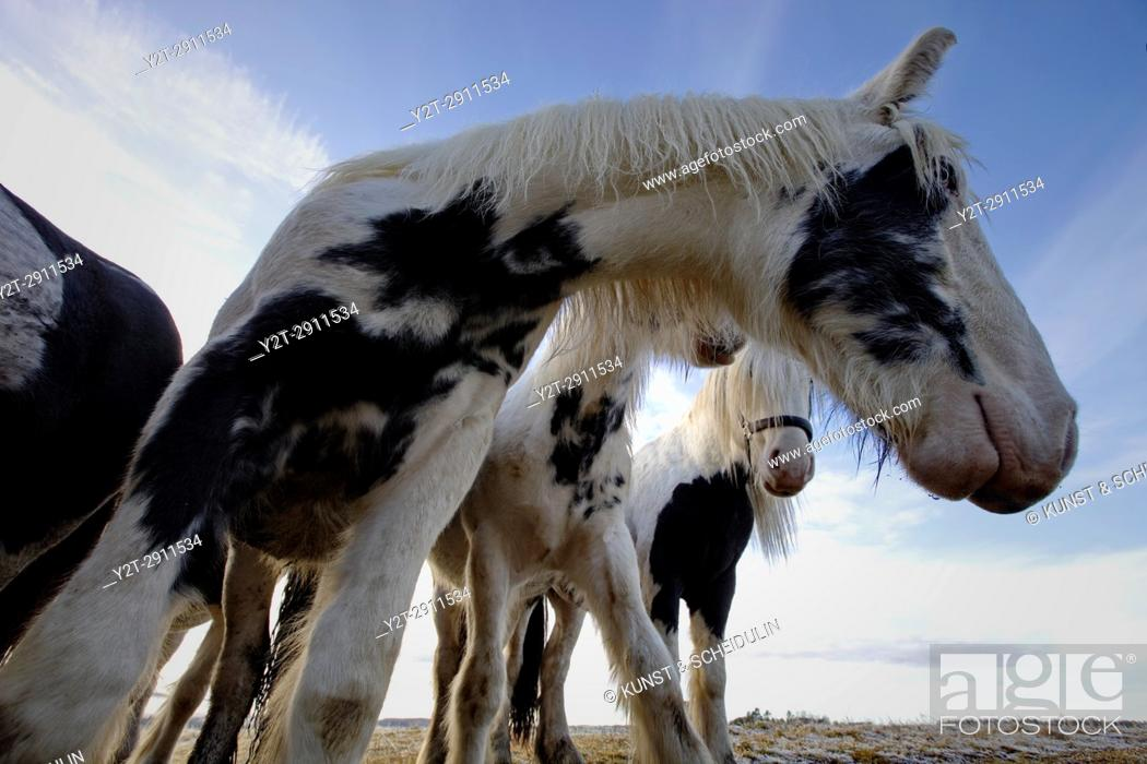 Stock Photo: Wide angle close up photograph of Tinker horses on a frosty pasture under a cloudy sky in Anundsjoe, Sweden.