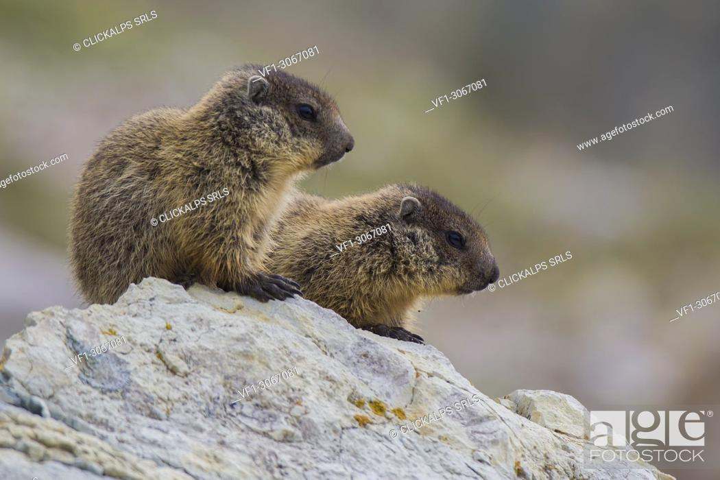 Stock Photo: Young marmots on the rock, italian alps, Piedmont, Italy, Europe.