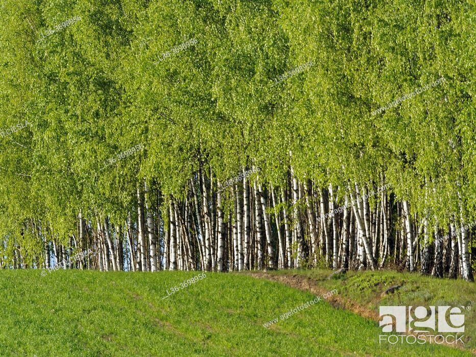 Photo de stock: Poland. Birch grove.