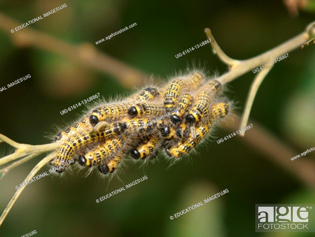 Mass Of Caterpillars On A Branch Uk Stock Photo Picture
