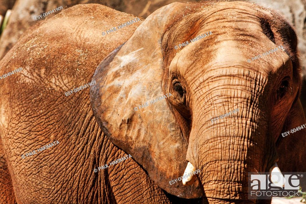Stock Photo: Face of Beautiful endangered African elephant with short ivory tusks.