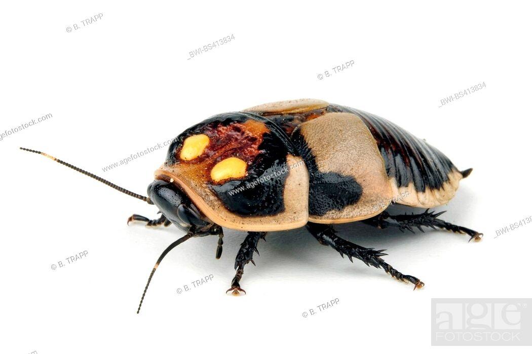 Imagen: Glowspot cockroache (Lucihormetica subcincta), cut-out.