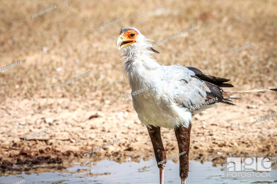 Stock Photo: Secretary bird at a waterhole in the Kgalagadi Transfrontier Park, South Africa.