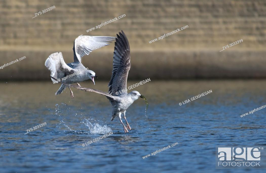 Imagen: Pair of juvenile Herring Gulls-Larus argentatus display behavior. Uk.