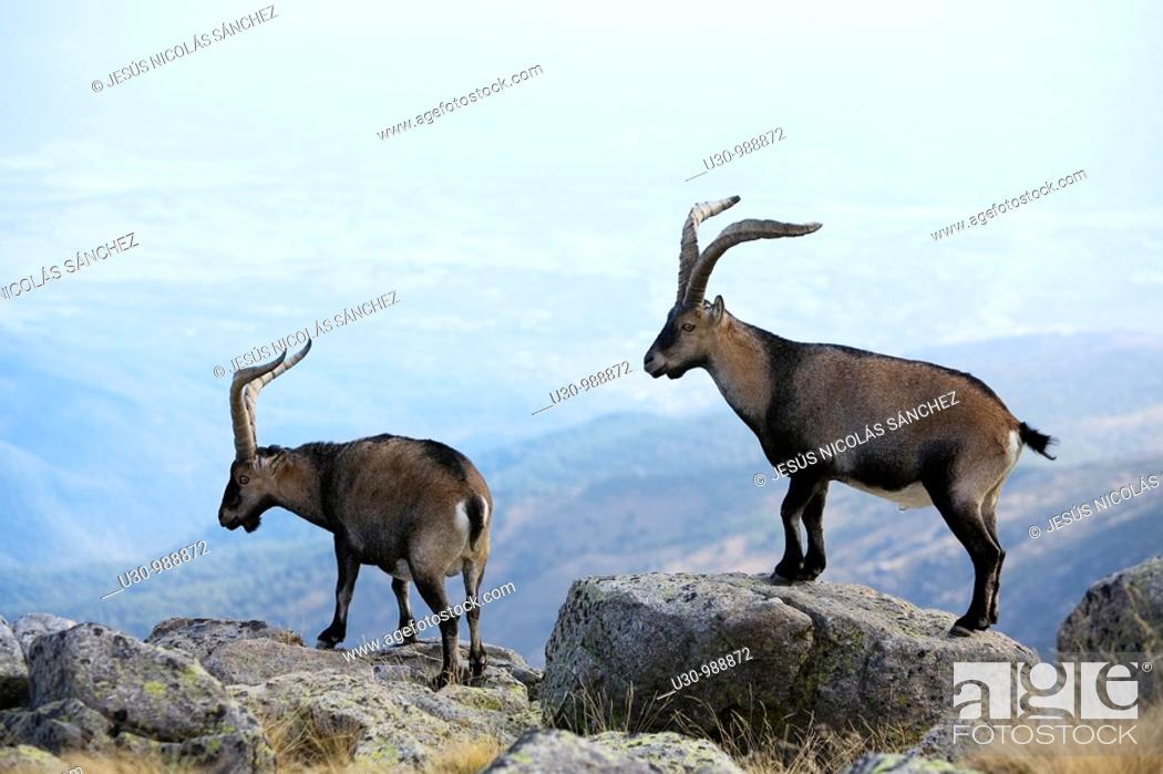 Photo de stock: Males Spanish Ibex in Morezón peak 2 393 m next to the Circo de Gredos  Mountains of the Sierra de Gredos National Park  Navacepeda de Tormes  Ávila  Castilla y.
