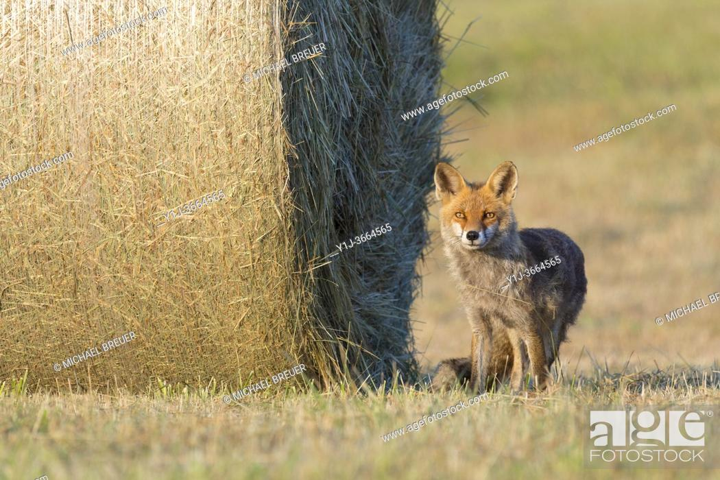 Stock Photo: Red fox (Vulpes vulpes) near hay ball, Summer, Hesse, Germany, Europe.