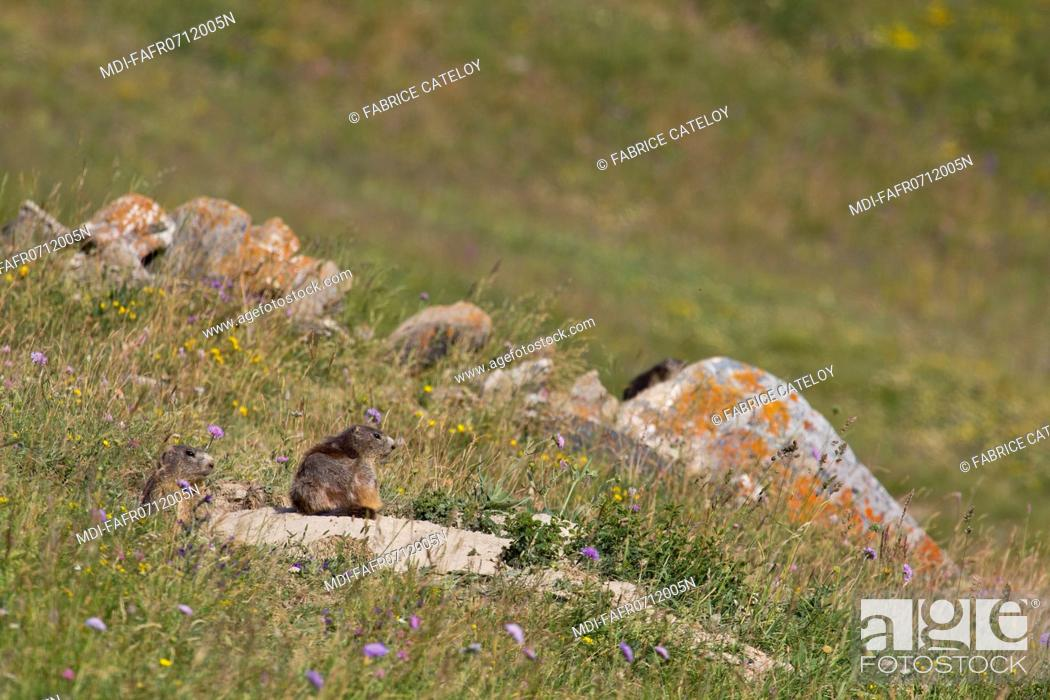 Imagen: Nature - Fauna - Marmot - Marmot and its young at the entry of their burrow in the natural regional park of Queyras.