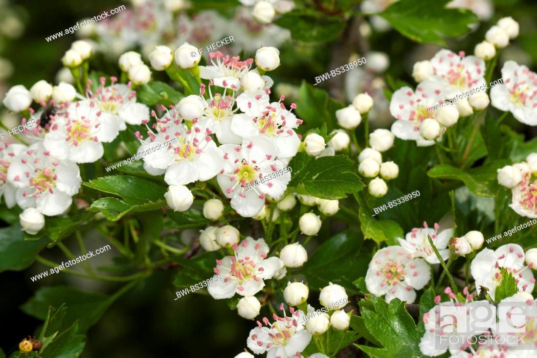 Imagen: common hawthorn, singleseed hawthorn, English hawthorn (Crataegus monogyna), blooming, Germany.