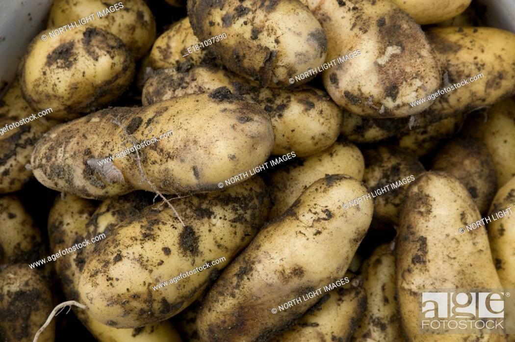 Imagen: Canada, BC, Saltspring Island Organic potatoes, just dug out of the ground.