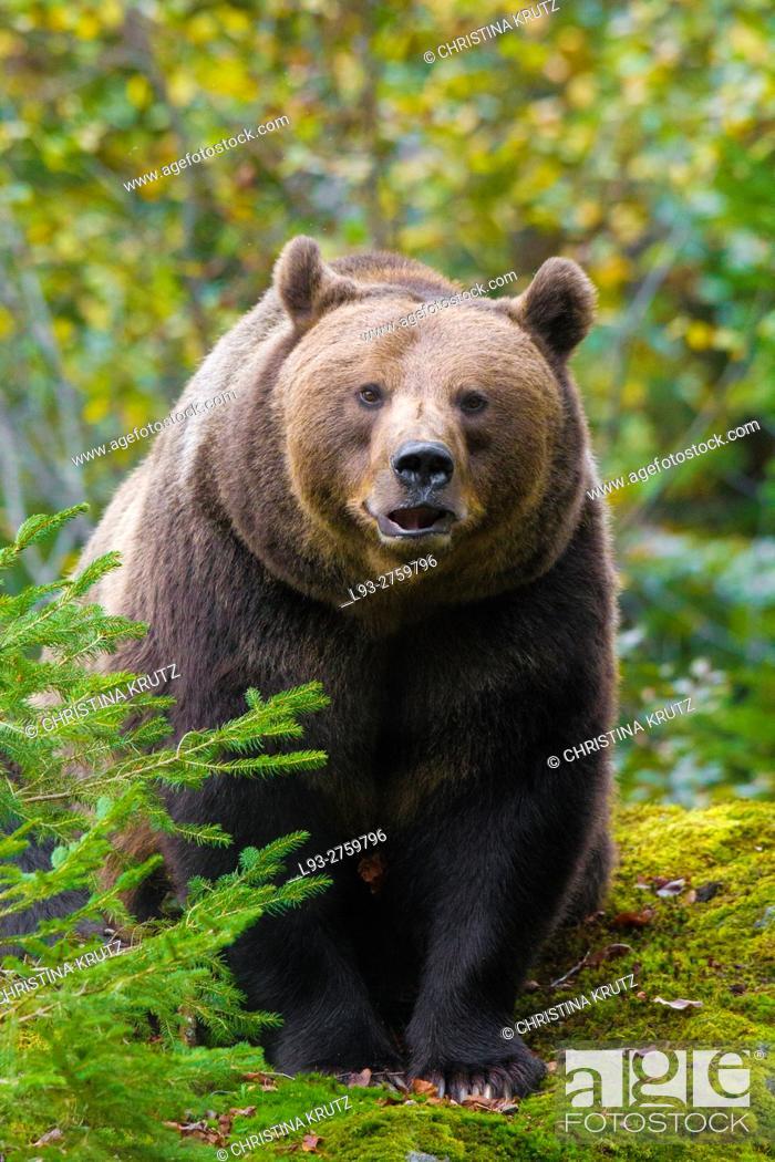 Stock Photo: Brown bear (Ursus arctos), Bavarian Forest National Park, Bavaria, Germany.