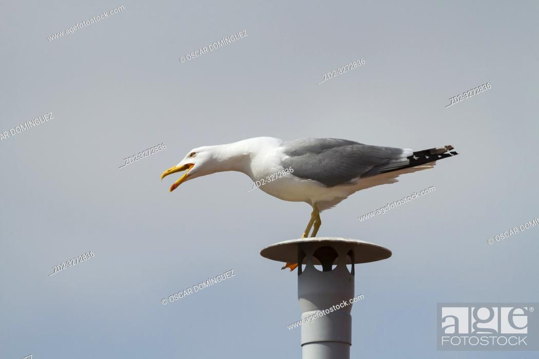 Imagen: Yellow-legged Gull (Larus michahellis), adult perched on a fake chimney. Barcelona. Catalonia. Spain.