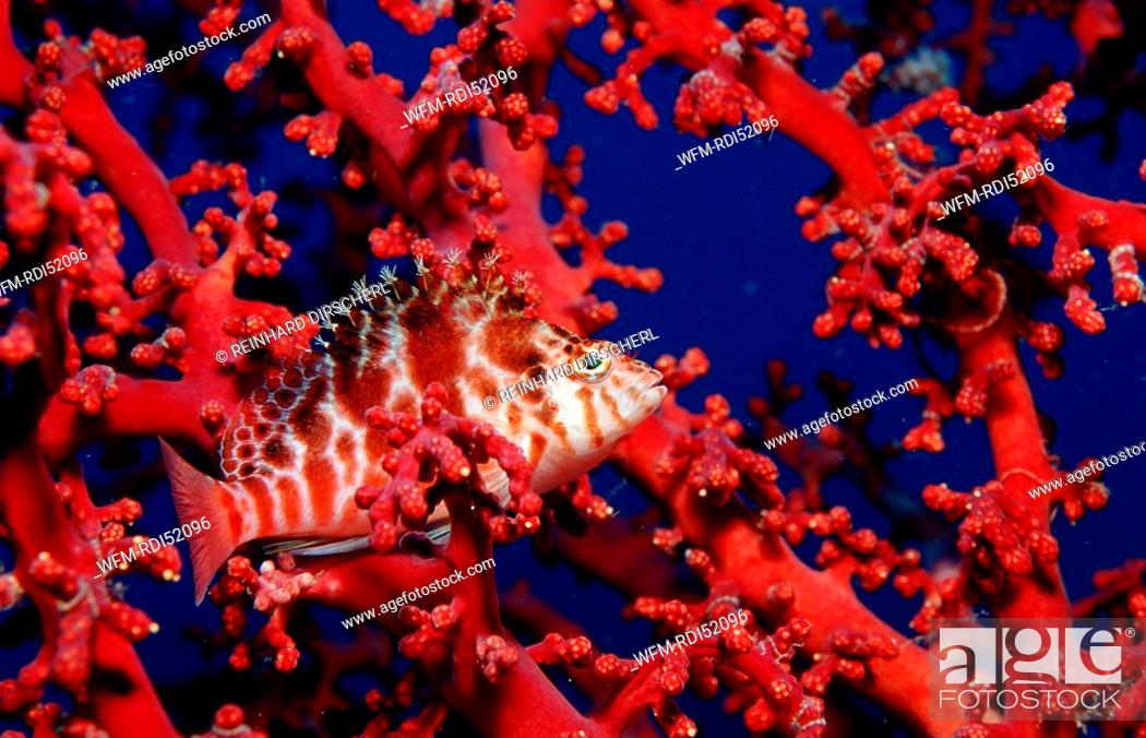 Stock Photo: Dwarf hawkfish, Cirrhitichthys falco, Indian Ocean Komodo National Park, Indonesia.