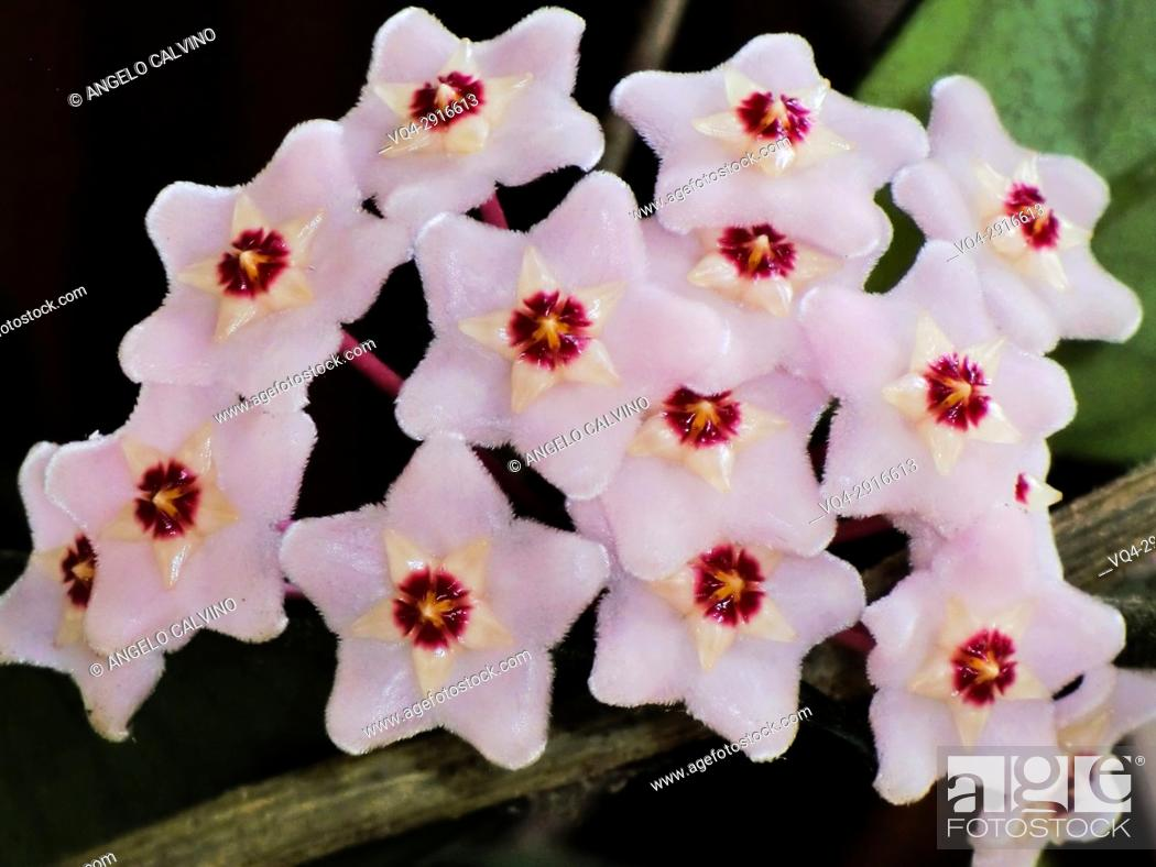 Stock Photo: Close-up of wax plant (Hoya carnosa) in bloom.