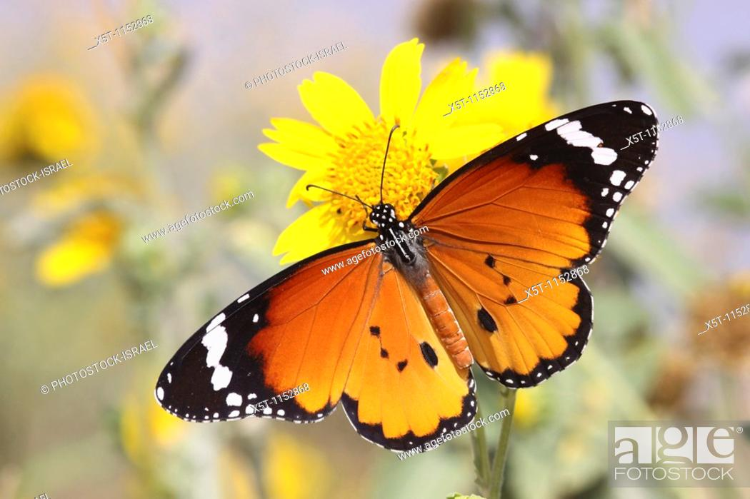 Stock Photo: Plain Tiger Danaus chrysippus AKA African Monarch Butterfly shot in Israel, October.