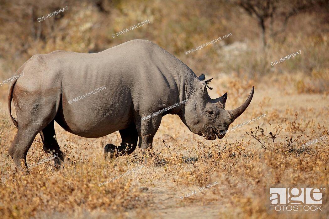 Stock Photo: Rhinoceros in arid plain, Namibia, Africa.