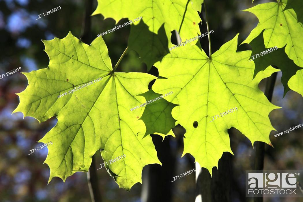 Stock Photo: Canada, Quebec, Montreal, autumn leaves, maple leaf,.