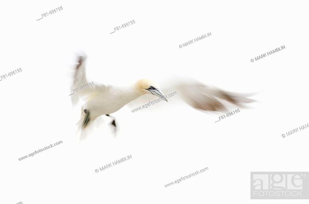 Stock Photo: Northern Gannet Sula bassana adult in flight preparing to land  Scotland  August 2007.