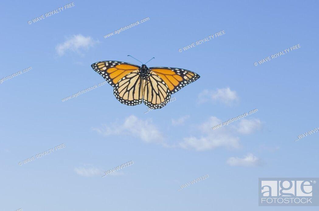 Stock Photo: Monarch Butterfly in flight.