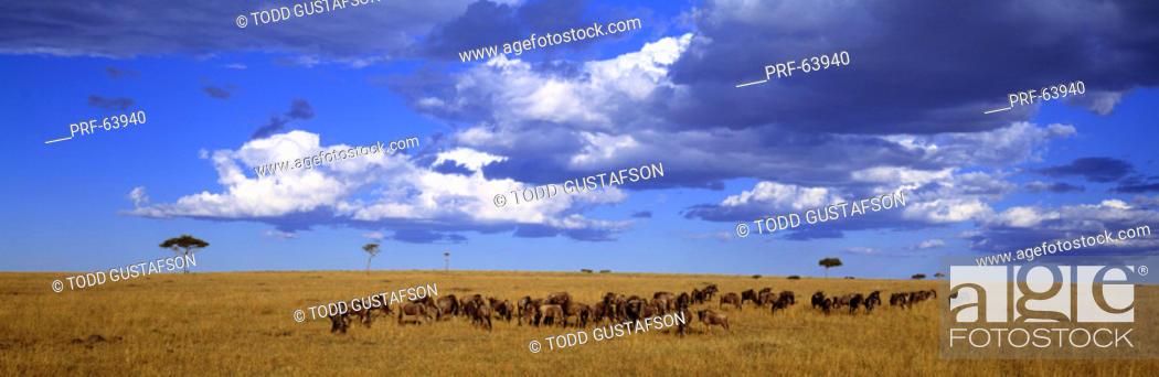 Stock Photo: Wildebeest Maasai Mara Kenya.