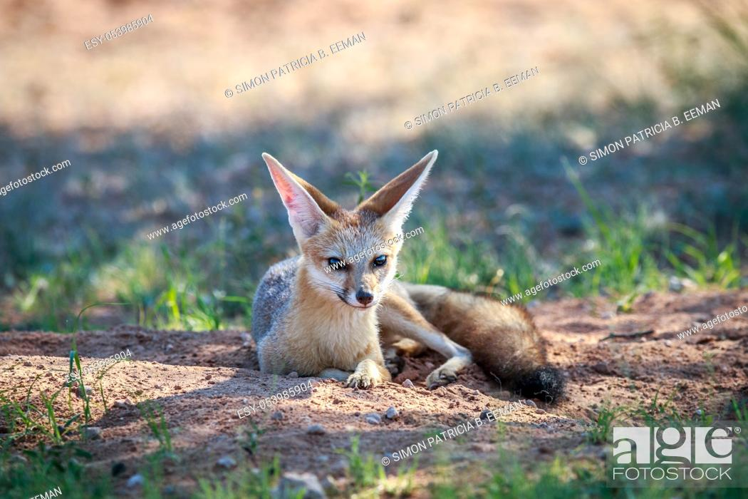 Stock Photo: Cape fox laying in the sand in the Kgalagadi Transfrontier Park, South Africa.