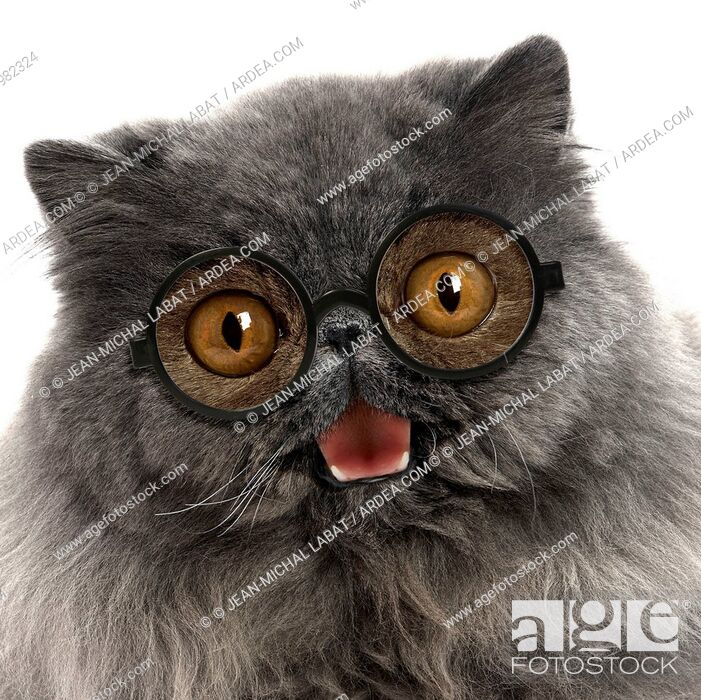 Imagen: Cat - Blue Persian wearing glasses smiling laughing moth open Digital manipulation.