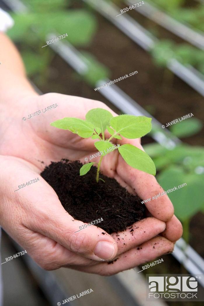 Stock Photo: Production of pre-base seed potatoes. Neiker Tecnalia, Instituto de Investigación y Desarrollo Agrario, Ganadero, Forestal y del Medio Natural, Arkaute, Alava.