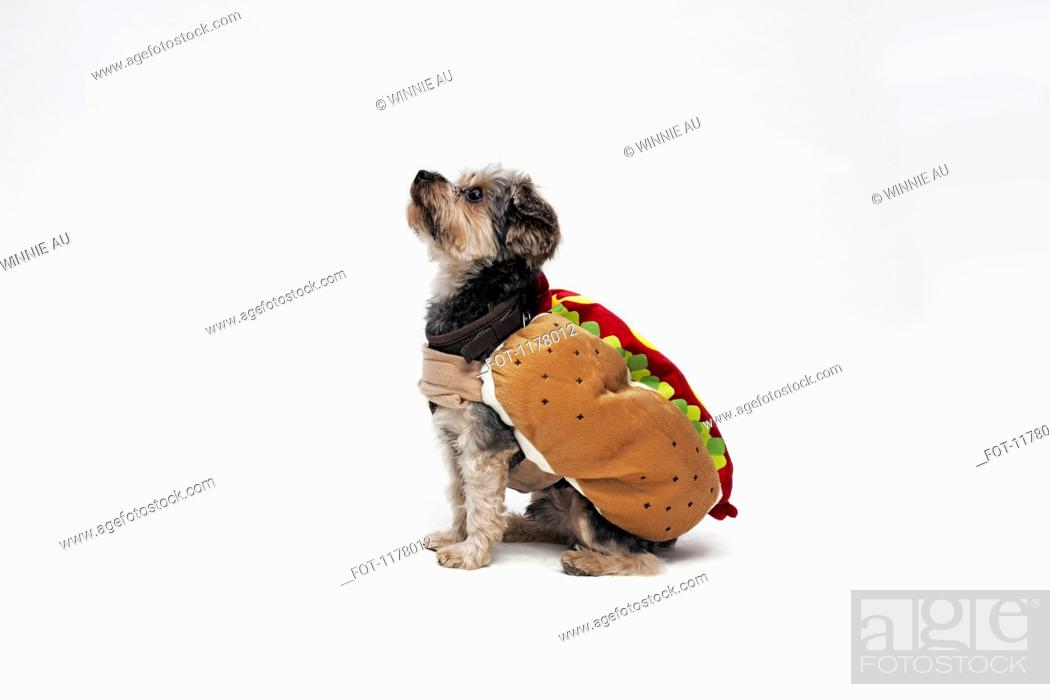 Stock Photo: A Yorkie wearing a hotdog costume.