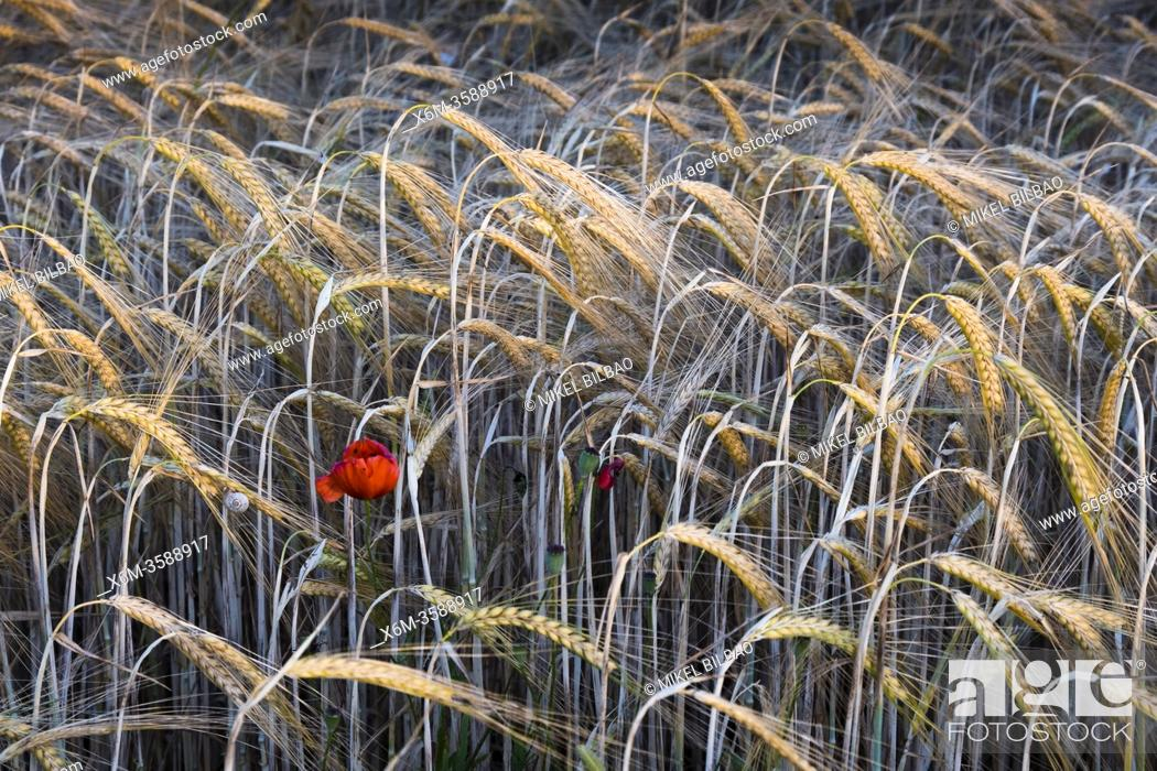 Stock Photo: Poppy flower (Papaver rhoeas) in a wheat field (Triticum spp)â. ‹. Navarre, Spain, Europe.