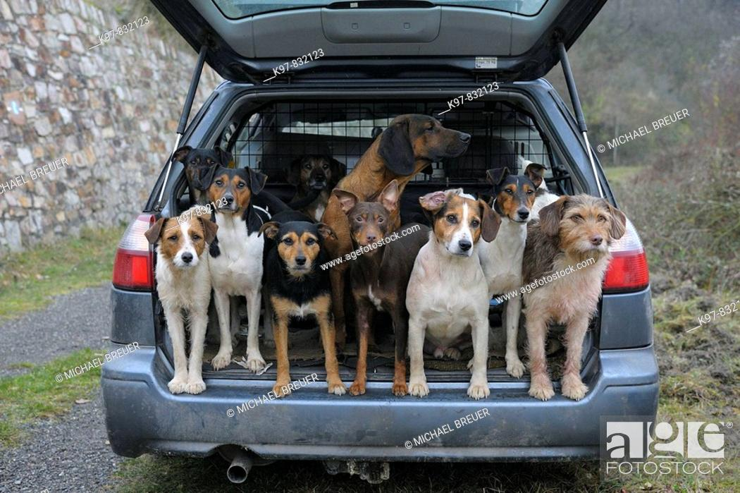 Stock Photo: Pack of hounds in car, Dogs, Germany.