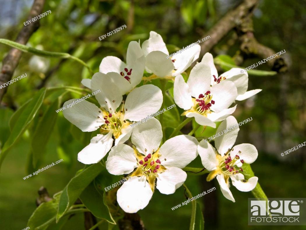 Stock Photo: Spring white flowers.
