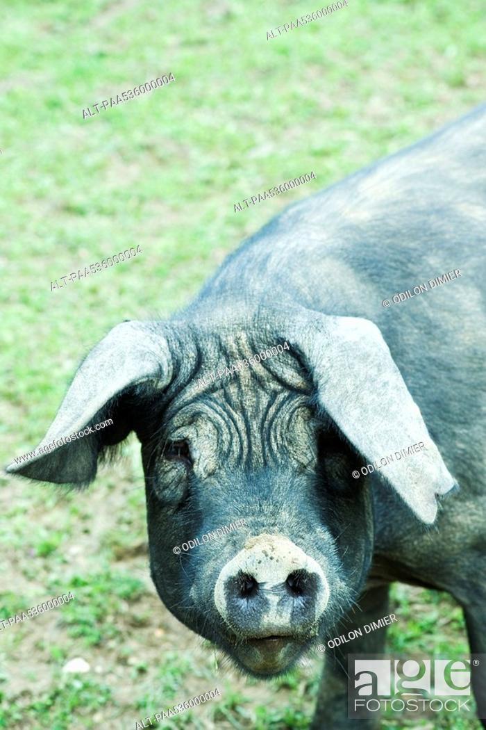Stock Photo: Black pig looking at camera.